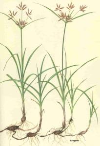 """Il Cyperus rotundus, comunemente detto quadrella o erba pepa o zigolo, era usato come """"dentifricio"""" nell'antichità"""