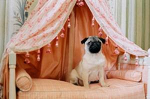 """Uno dei cagnolini di Maria Antonietta (dal film """"Marie Antoinette""""). La regina di Francia amava gli animali"""