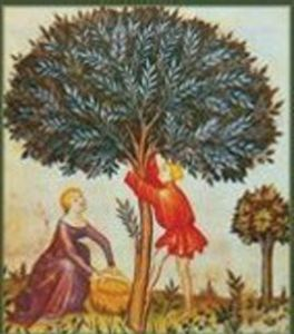 Raccolta delle olive nel Medioevo. L'olio d'oliva era anche un cosmetico e un medicamento