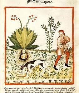 Un metodo di raccolta della mandragola da un'immagine medievale. La mandragola venne utilizzata in gran quantità dai romani in chirurgia
