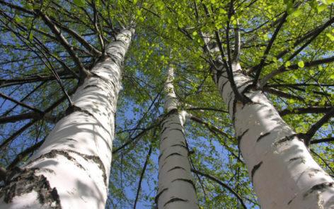 """Tronchi di betulla. Su uno di essi, in Russia, è stata ritrovata una """"lista della spesa"""" medievale"""