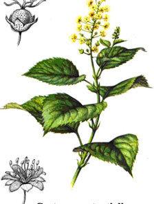 L'olio di crotontiglio fu spesso usato in passato come purga per curare le malattie mentali