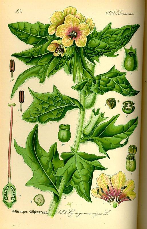 Giusquiamo, erba tossica utilizzata come sedativo fino a inizio '900